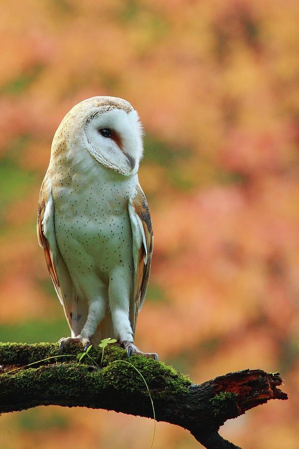 Barn Owl On Orange Photograph by Alex Thomson Photography