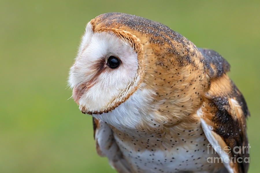 Barn Owl Portrait by Alma Danison