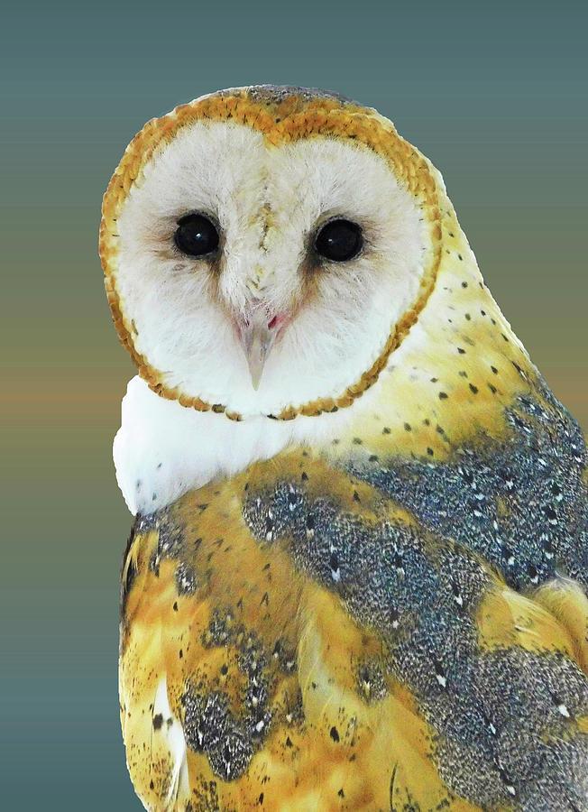 Barn Owl Portrait Photograph