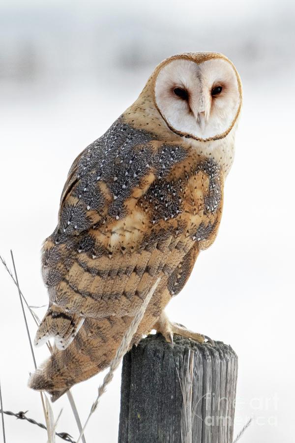 Owl Photograph - Barn Owl Portrait by Mike Dawson