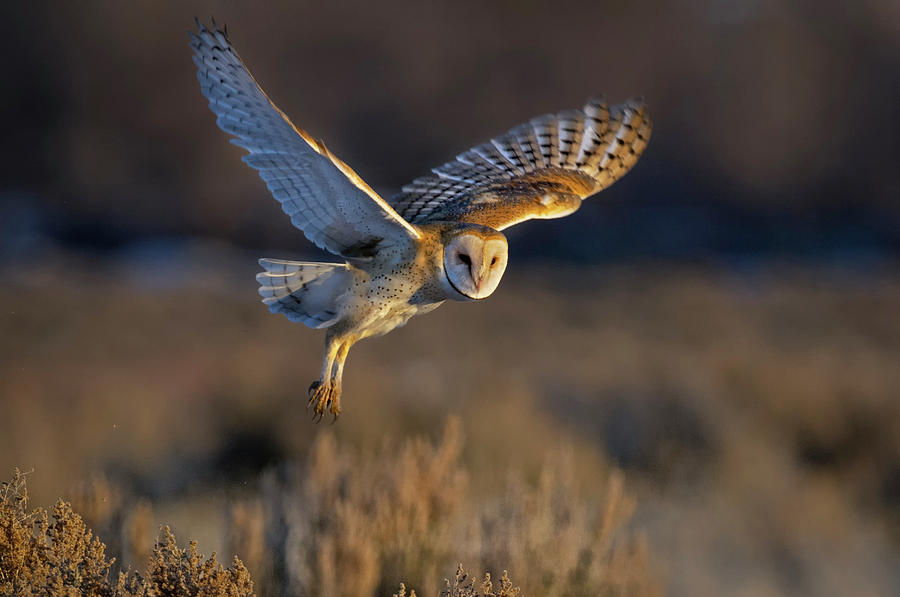 Barn Owl Take Off by Rick Mosher