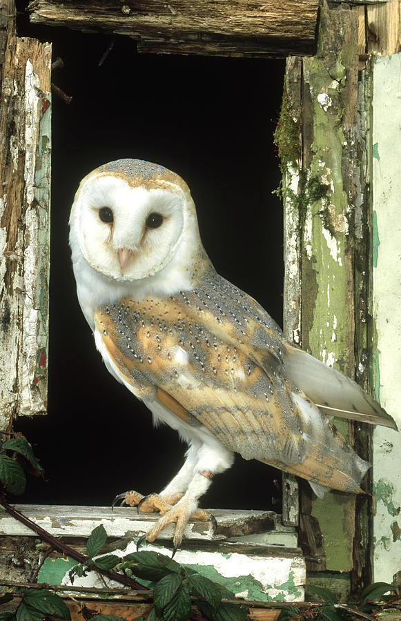 Barn Owl Tyto Alba Perched In Old Photograph by Mark Hamblin