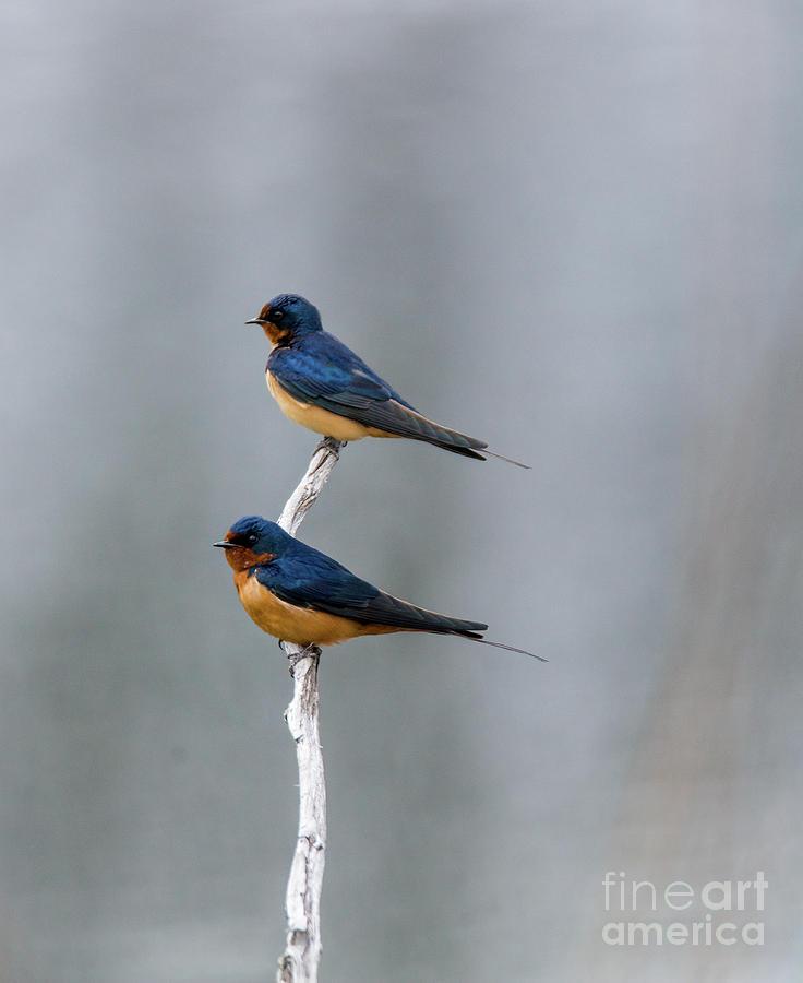 Barn Swallows by Randy J Heath