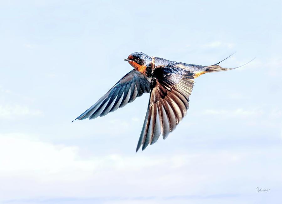 Barn Swallow Flight by Judi Dressler