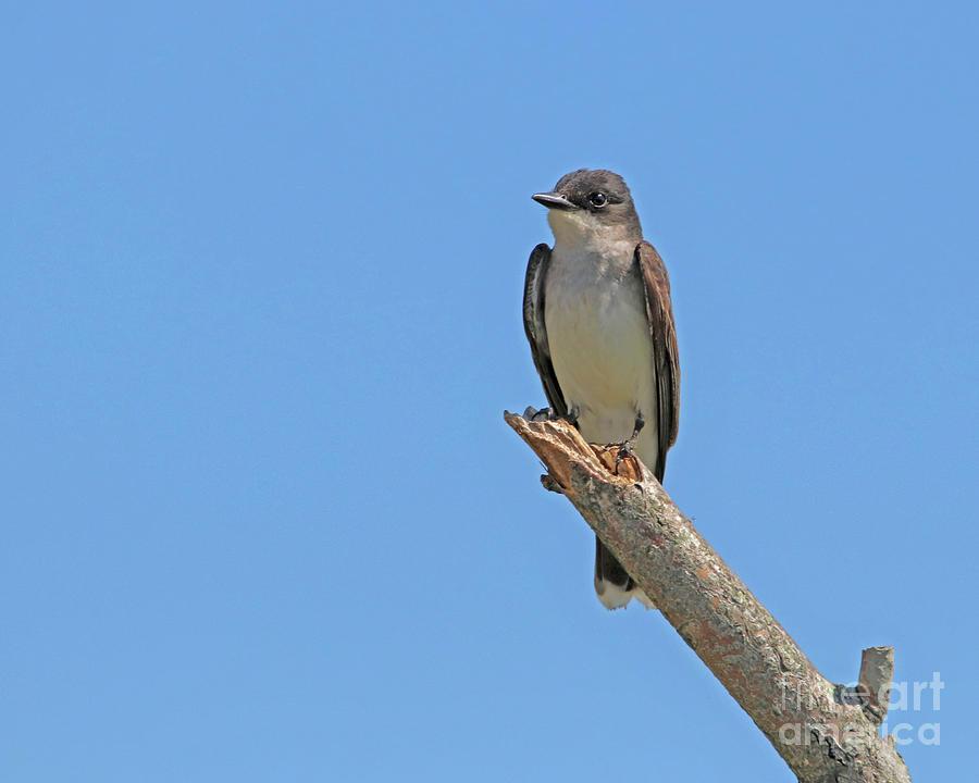 Barn Swallow by Karen Silvestri