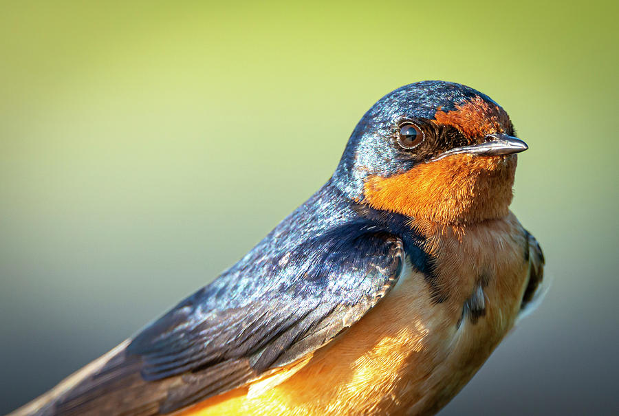 Barn Swallow Portrait by Philip Rispin