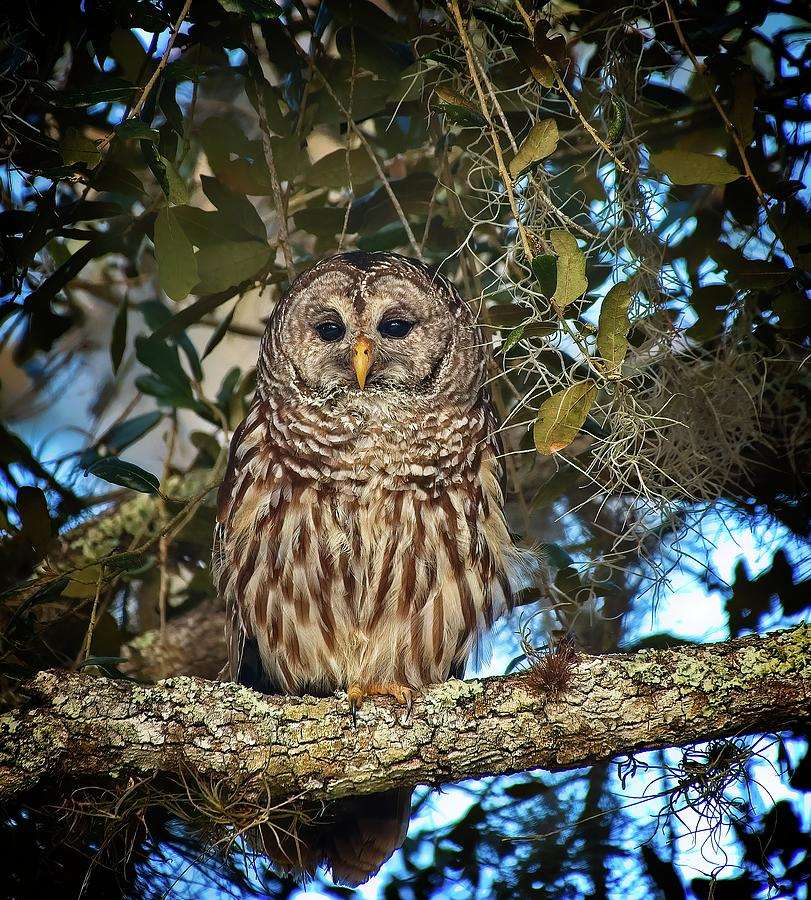 Barred Owl 1 by Steve DaPonte