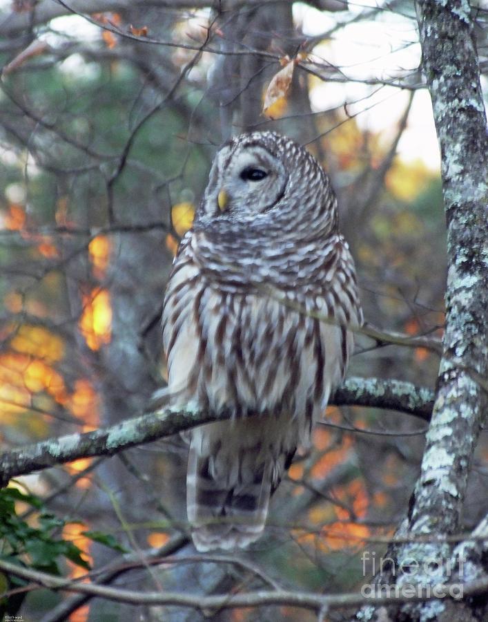 Barred Owl 10 by Lizi Beard-Ward