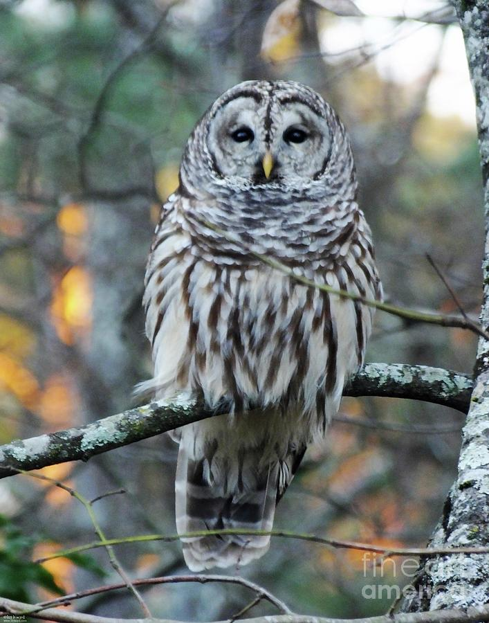 Barred owl 11 by Lizi Beard-Ward