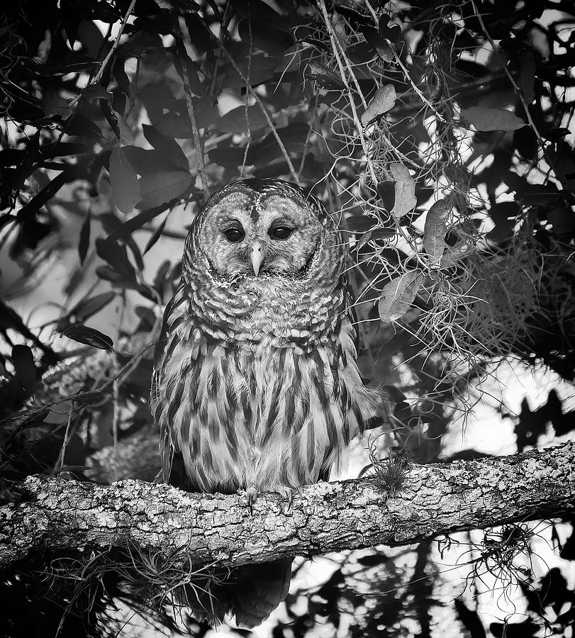 Barred Owl 2 by Steve DaPonte