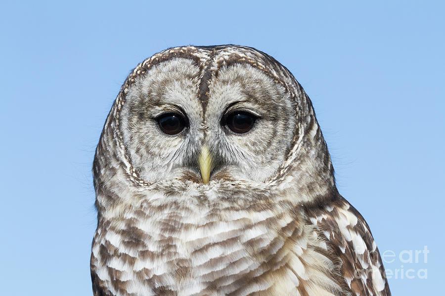 Barred Owl 5 by Chris Scroggins