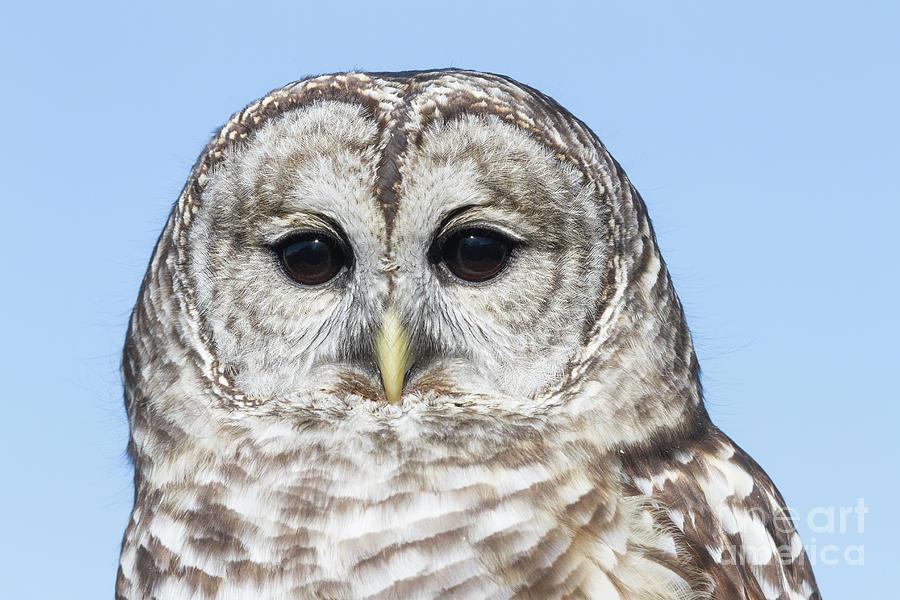 Barred Owl 6 by Chris Scroggins