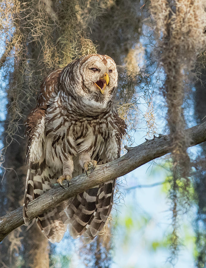 Barred Owl Bellowing by Georgia Wilson