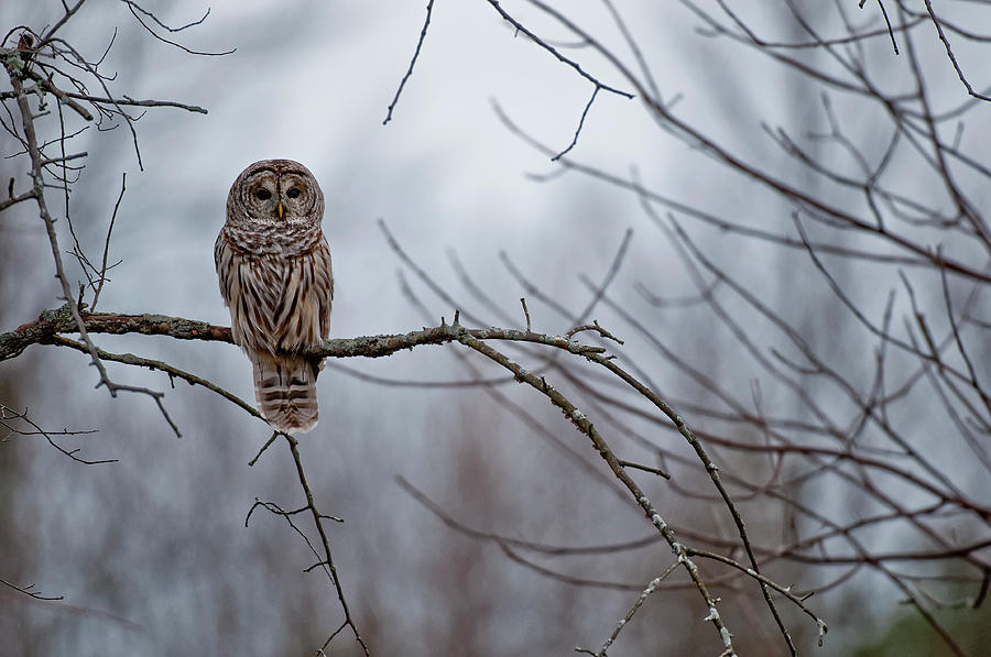 Barred Owl Photograph by Copyright Michael Cummings