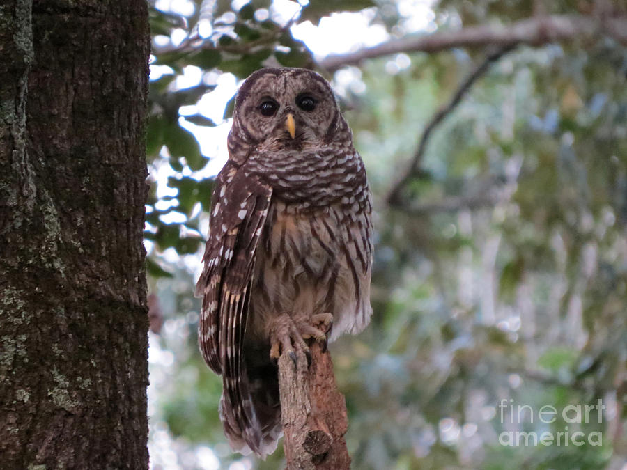 Barred Owl Encounter Photograph