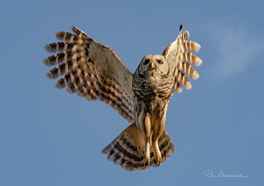 Barred Owl in Flight 0130 by Dan Beauvais
