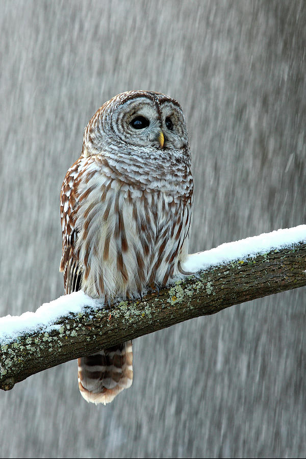 Barred Owl In The Snow Photograph by Alex Thomson Photography