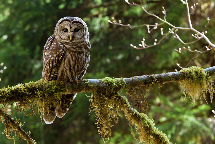 Barred Owl, Olympic National Park Photograph by Mint Images - Art Wolfe
