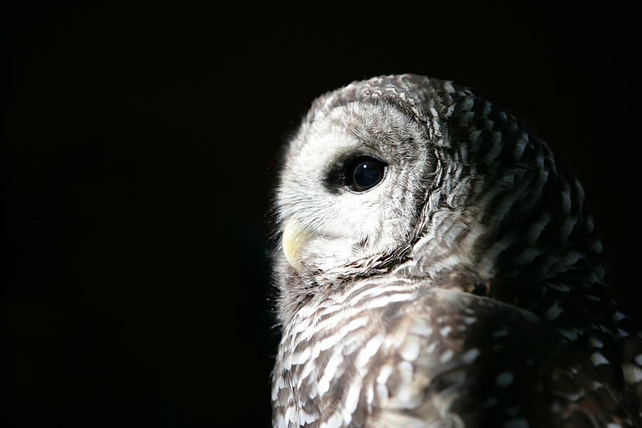 Barred Owl Photograph by Parkerdeen