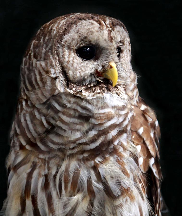 Barred Owl Photograph by Spiraling Road Photography