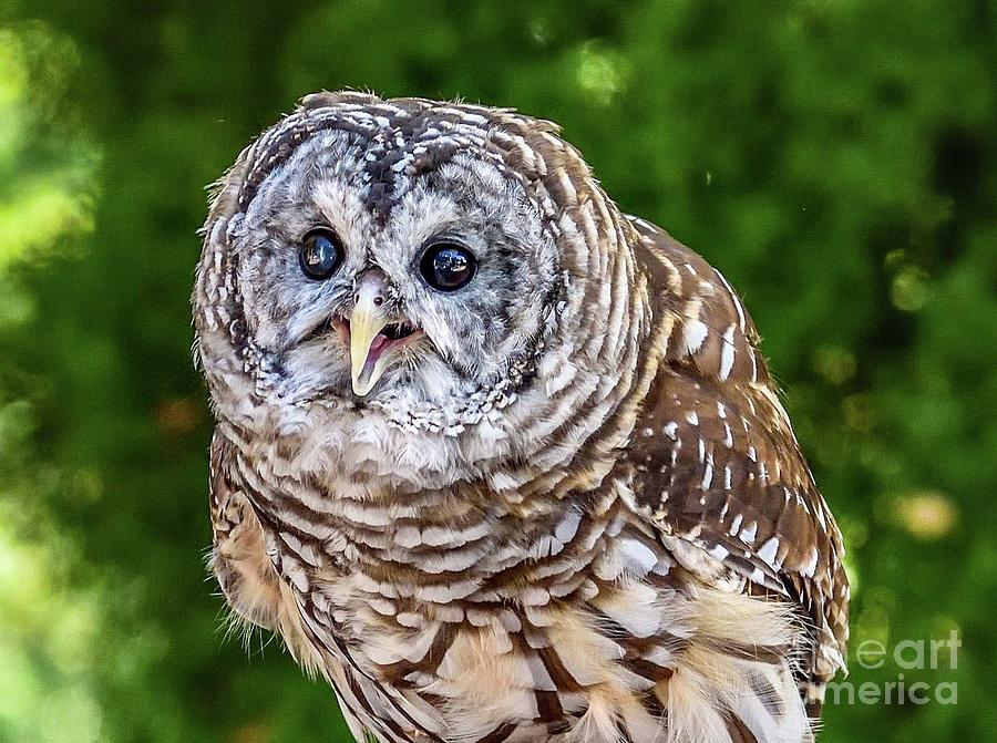 Barred Owl - The Eyes Have It by Cindy Treger