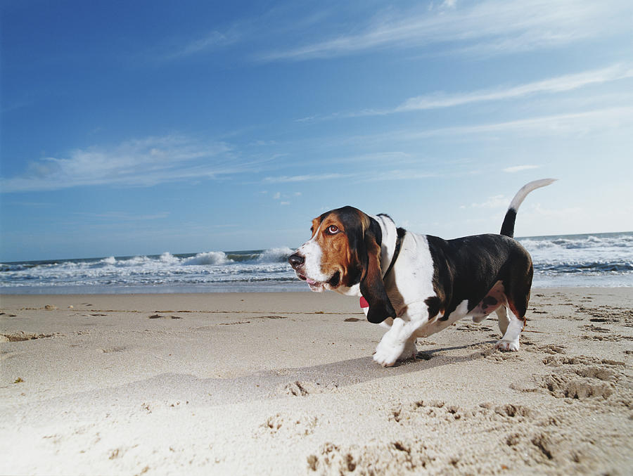 Basset Hound Walking On Beach, Ground Photograph by Gary John Norman