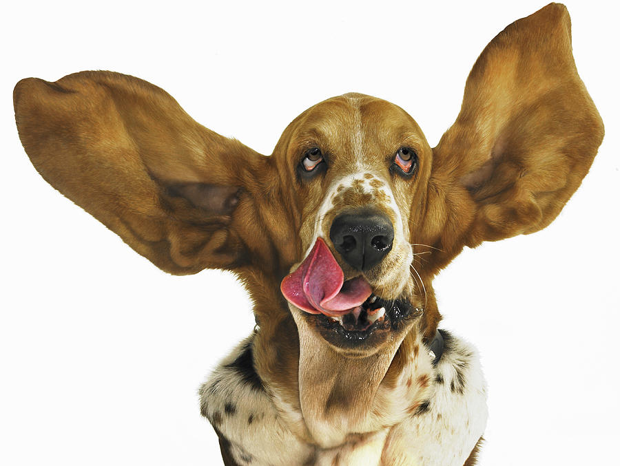 Basset Hound With Ears Flying Photograph by Gandee Vasan