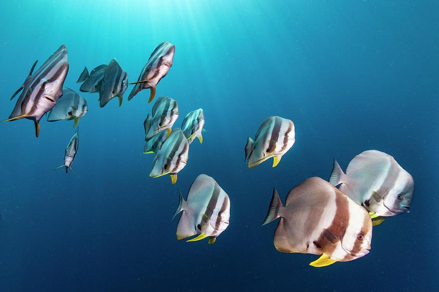 Batfish School In Maldives Photograph by Tui De Roy