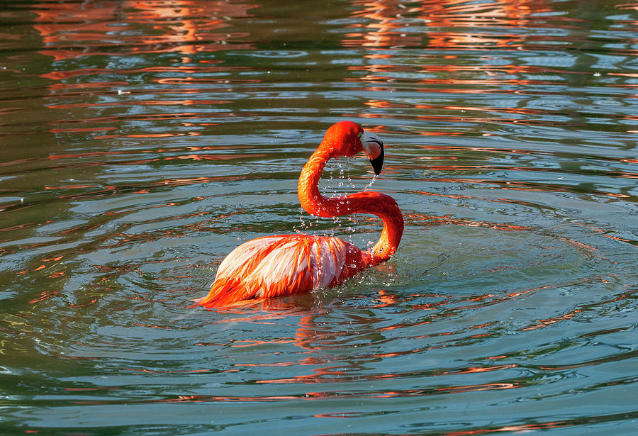 Bathing Flamingo by Anthony Jones