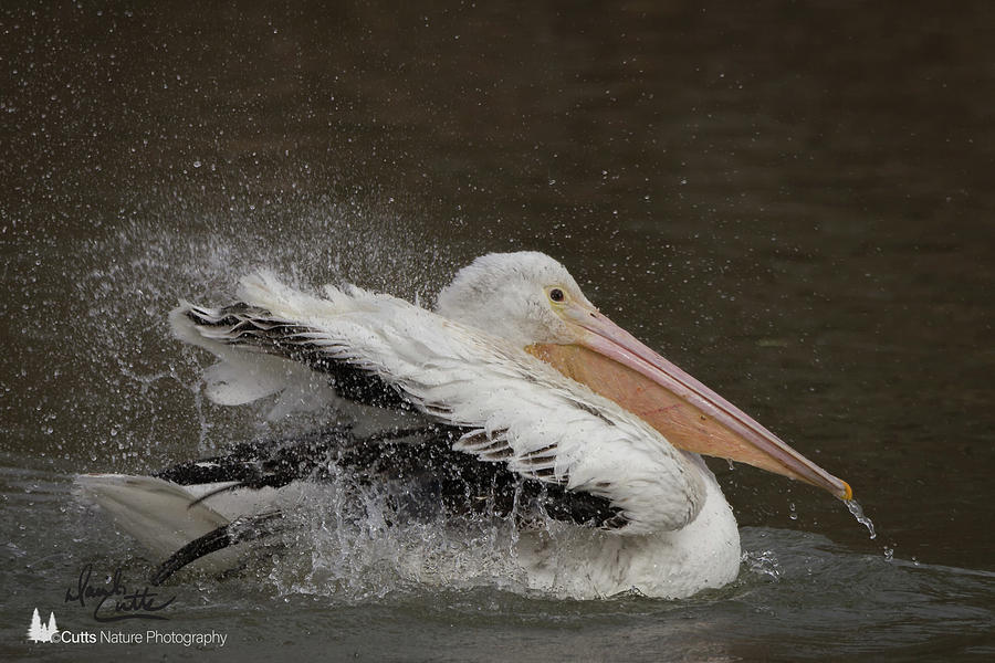 American Photograph - Bathing Pelican by David Cutts