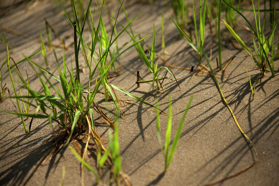 Beach Grass in Delaware by Karol Livote