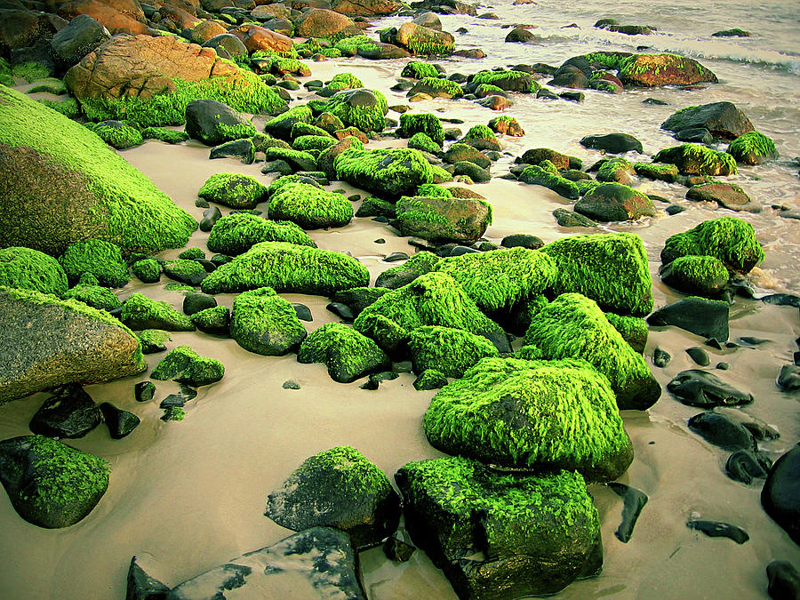 Beach Rocks Covered With Seaweed Photograph by Andre Bernardo