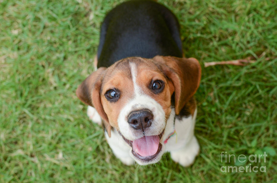 Small Photograph - Beagle Puppy Sitting On Green Grass by Mr.es