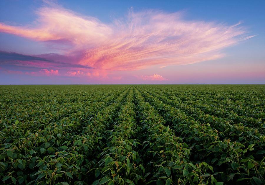 Bean Field Sunset Photograph by Scott Kroeker (natural Light Magic)