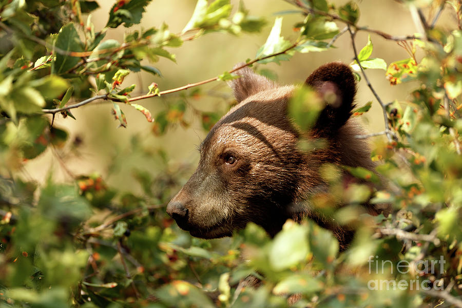 Bear Cub by Beve Brown-Clark Photography
