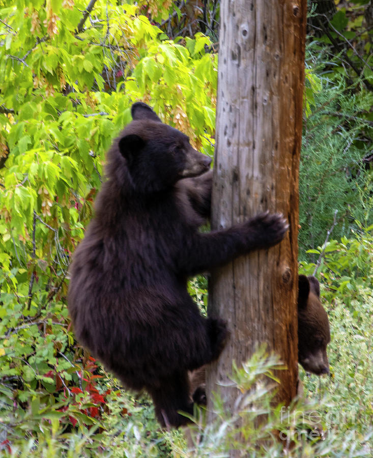 Bear Cub Climbing Photograph