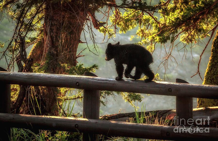 Bear Cub Yellowstone by Paul Gillham
