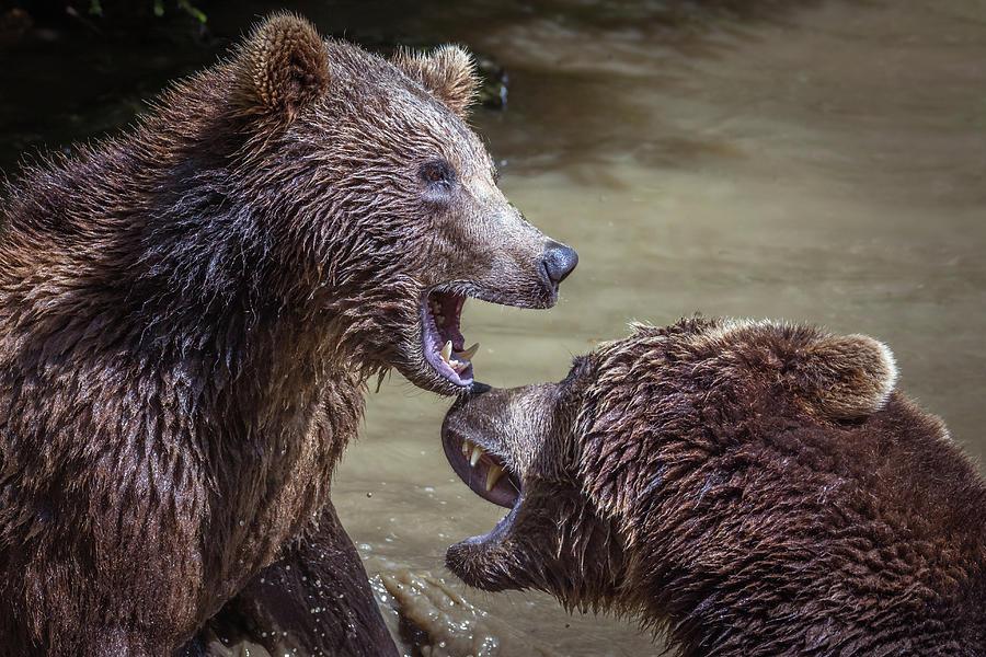 Bear Fight Photograph