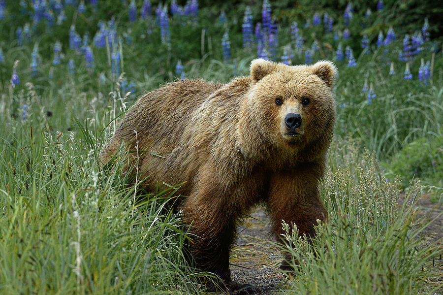 Bear in Lupines by Gary Lengyel
