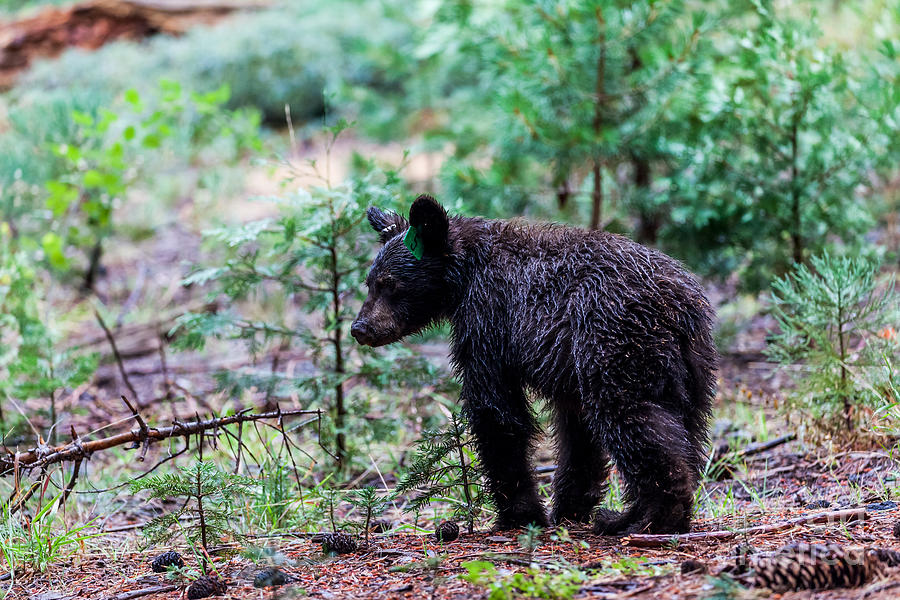 Grizzly Photograph - Bear In Sequoia National Park by Oscity