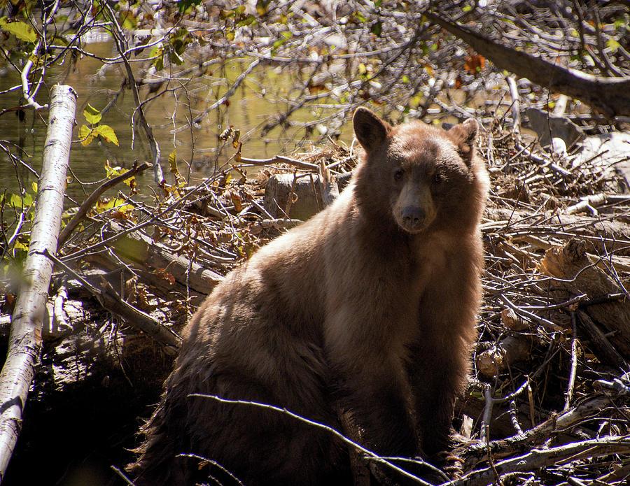 Bear Portrait by Steph Gabler