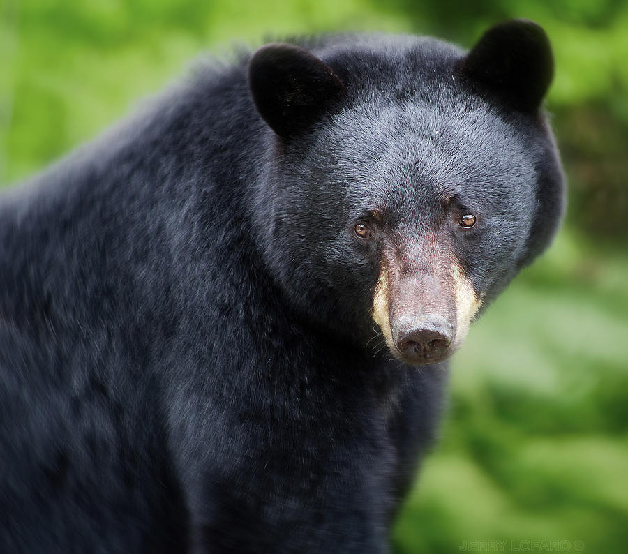Black Bear Photograph - Bear Stare by Jerry LoFaro