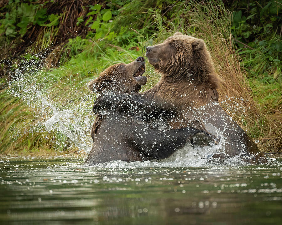 Bear Wrestling by Laura Hedien