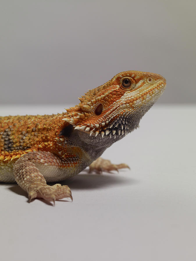 Bearded Dragon Photograph by Dan Burn-forti