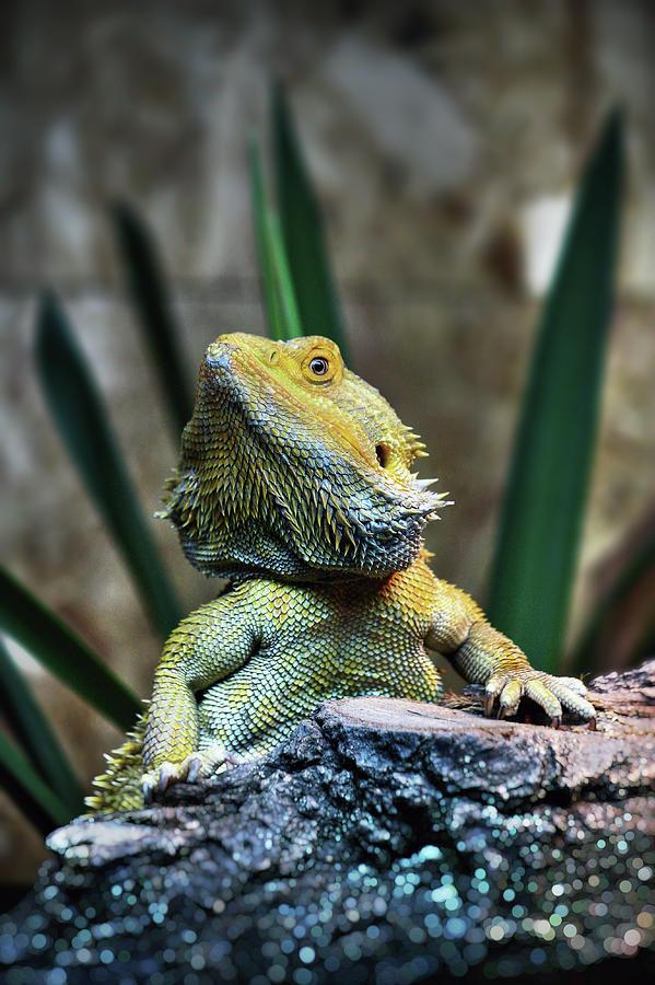 Bearded Dragon Photograph by Nenad Druzic