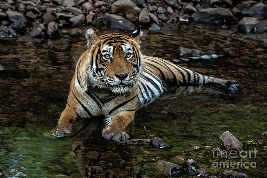 Tiger Photograph - Beating The Heat by Pravine Chester