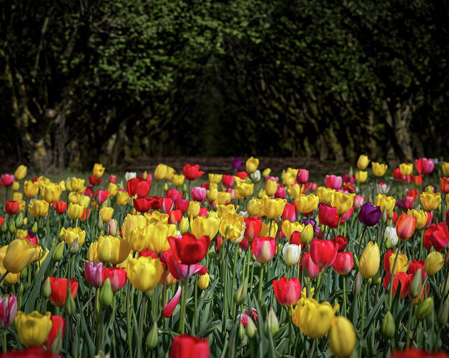 Beautiful Assorted Tulips by Johanna Froese