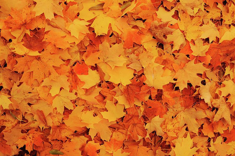 Beautiful Autumn Maple Leaves Photograph by Li Kim Goh
