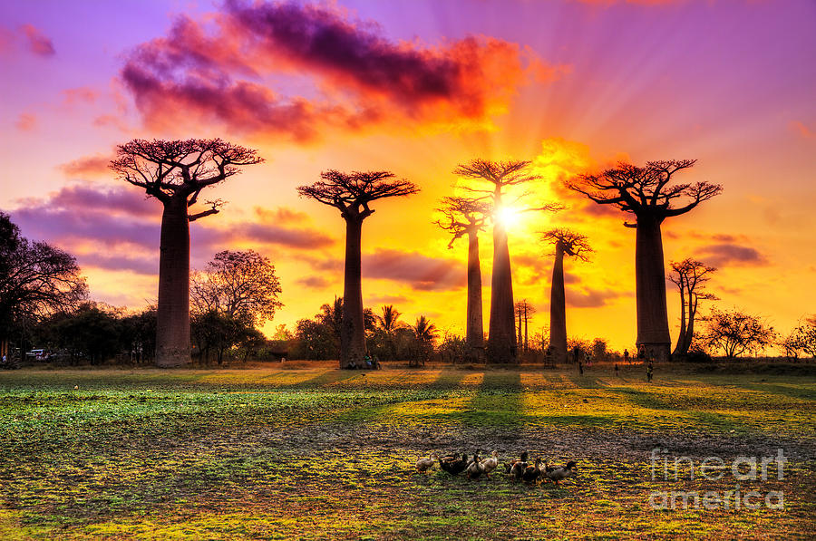 Allee Photograph - Beautiful Baobab Trees At Sunset by Dennis Van De Water