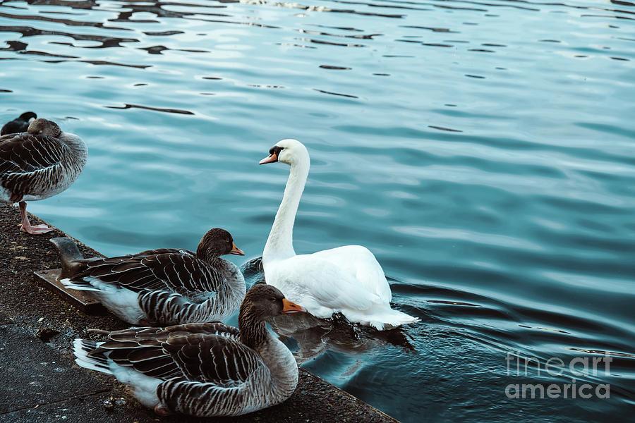 Beautiful birds on the lake by Marina Usmanskaya
